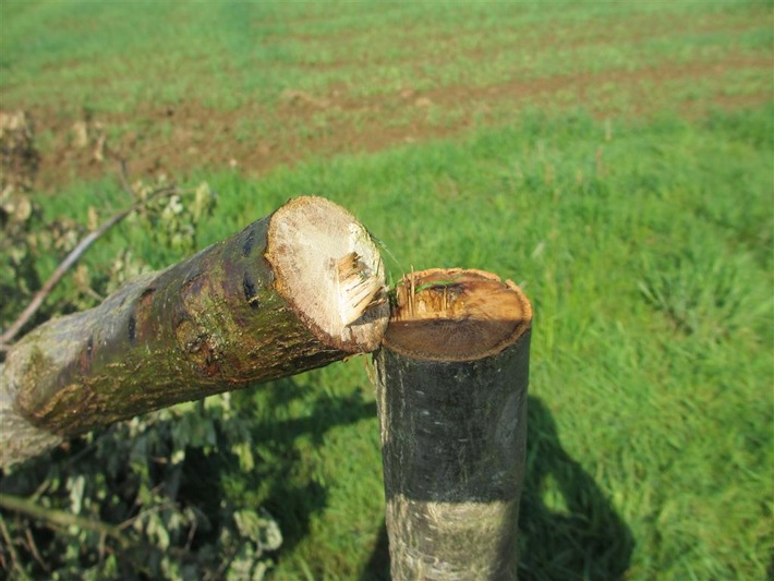 Altenkirchen: Jungbaum wurde abges�gt