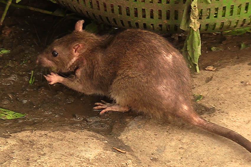 In der VG Puderbach werden die Ratten bekämpft
