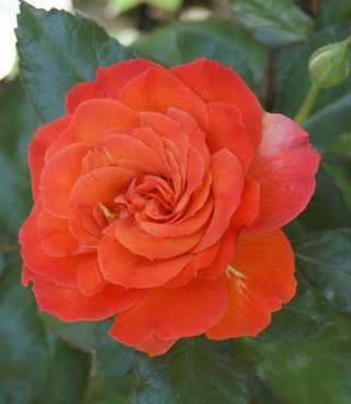 Rosenfest und Rosenwoche beim Pflanzenhof Sch�rg in Wissen