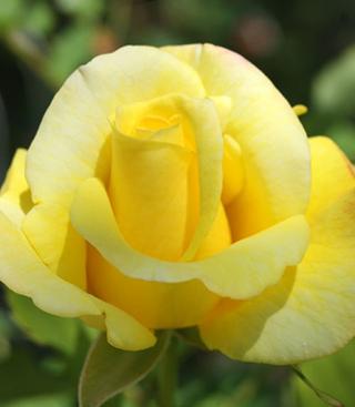 Rosenfest lockt nach Wissen