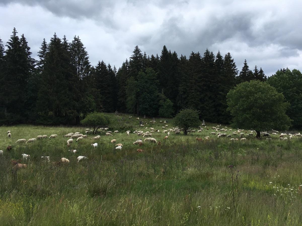Um die Lebensräume bedrohter Arten im Naturschutzgebiet Fuchskaute zu sichern, werden regelmäßig Schafe eingesetzt. (Foto: Markus Kunz / Quelle: SGD Nord)