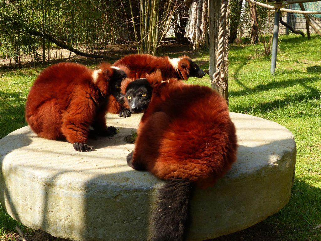Männertausch im Zoo Neuwied: Wechsel bei den Roten Varis