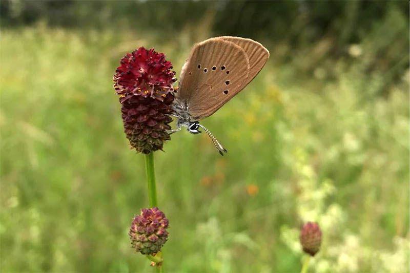 Erste Blume des Jahres für Wiesenknopf-Ameisenbläulinge gepflanzt