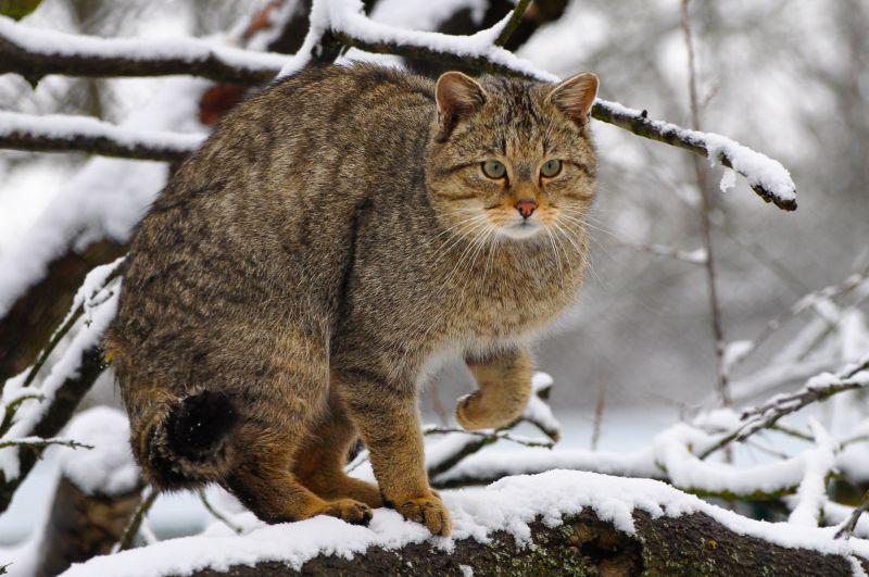 NI: Wildkatzen und ihre Lebensräume schützen
