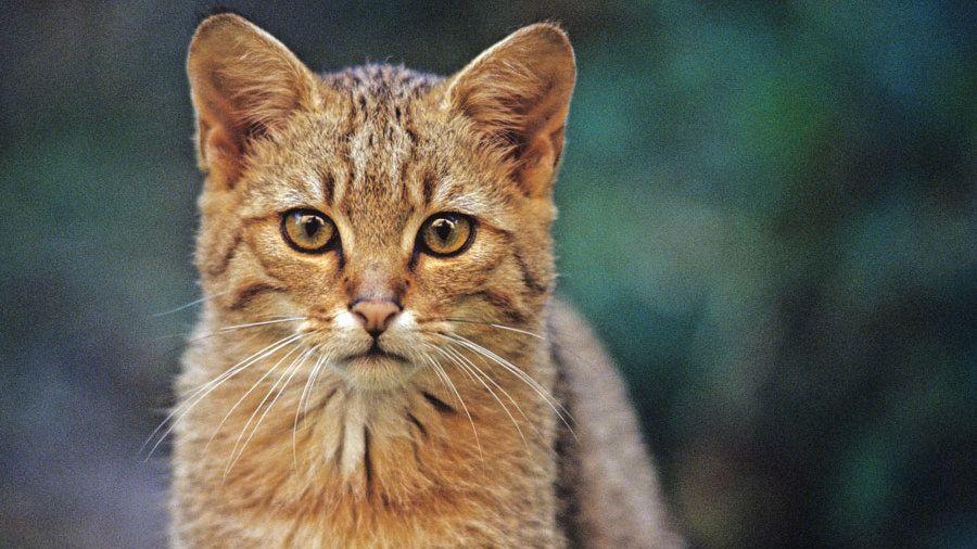 Auf den Spuren der Wildkatze in Rheinland-Pfalz