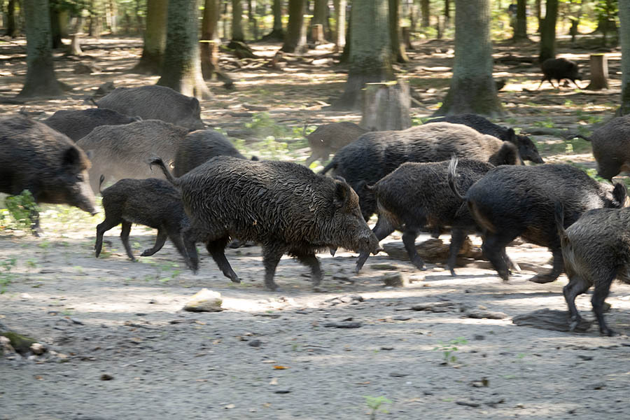 Drückjagd gegen die Afrikanische Schweinepest