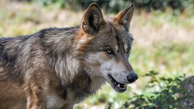 Wolfsriss an Schafen bei Daufenbach bestätigt