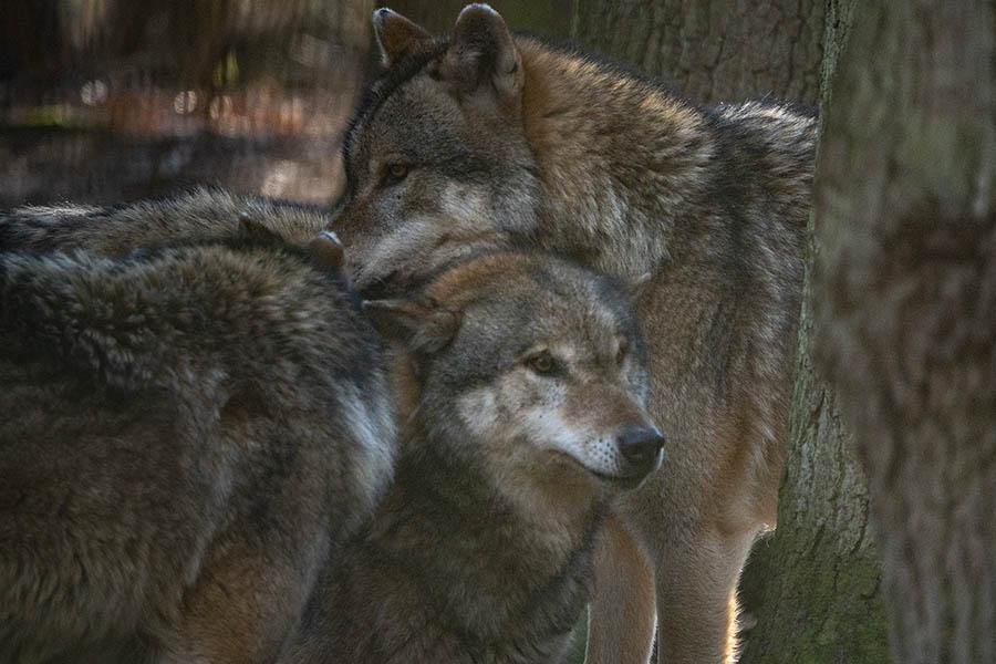 Wolfsrudel auf dem Leuscheid – eine Bereicherung für die Natur