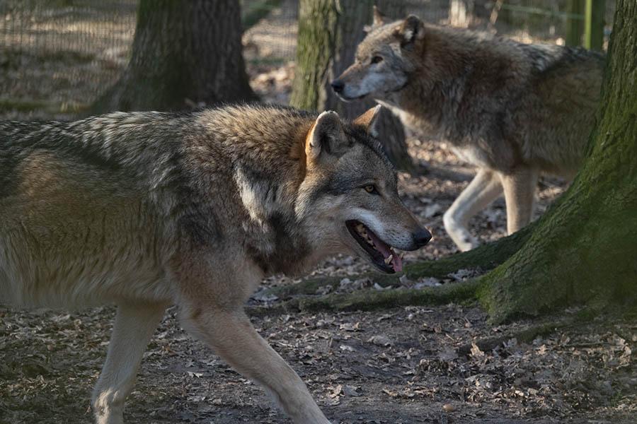 Jägerschaft: Von uns werden keine Wölfe geschossen