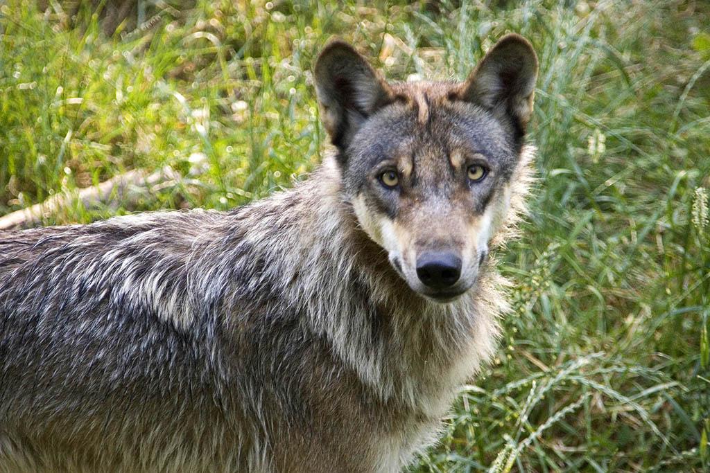 Zweite Wolfssichtung im Kreis Neuwied bestätigt