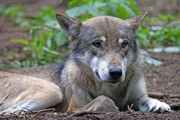 Das Damwild in Leutesdorf wurde von einem Wolf gerissen