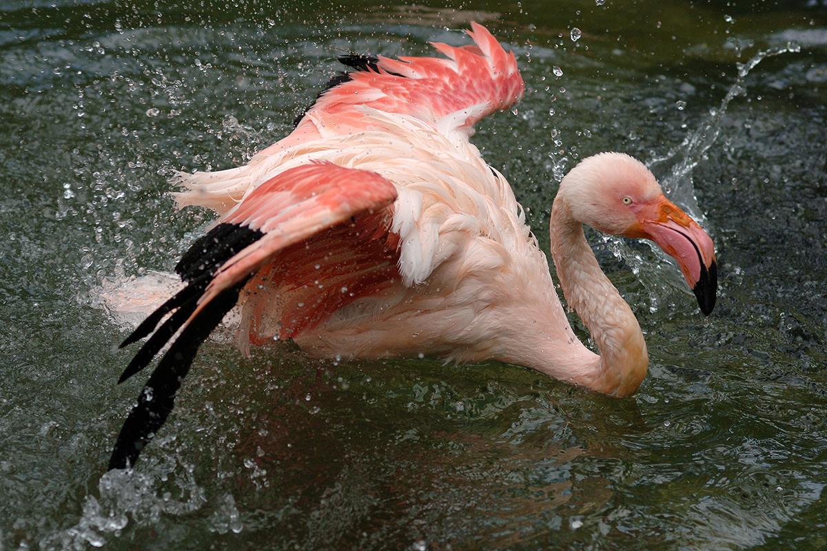 Flamingos im Zoo Neuwied