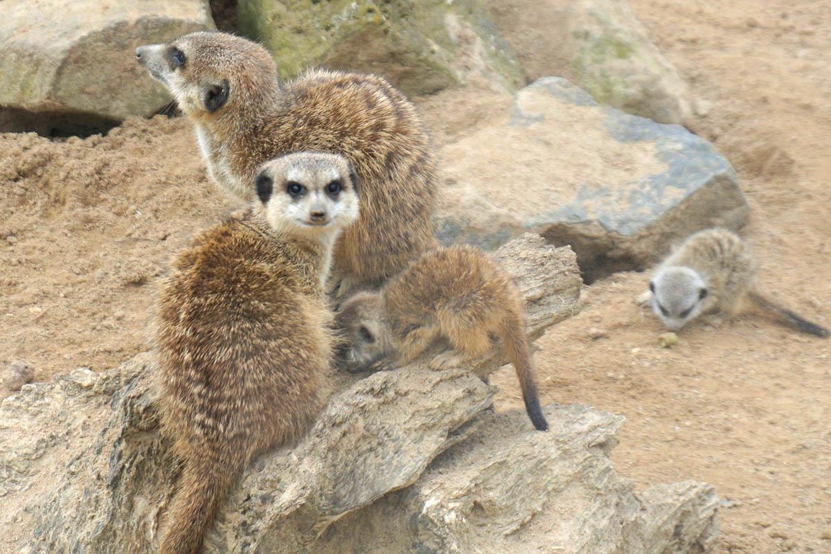 Nachwuchs bei den Erdmännchen im Zoo Neuwied