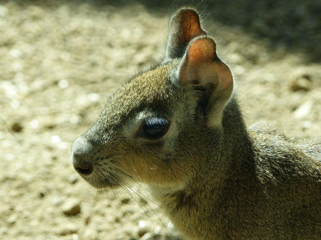 Eine Erfolgsgeschichte: Zwergmaras im Zoo Neuwied